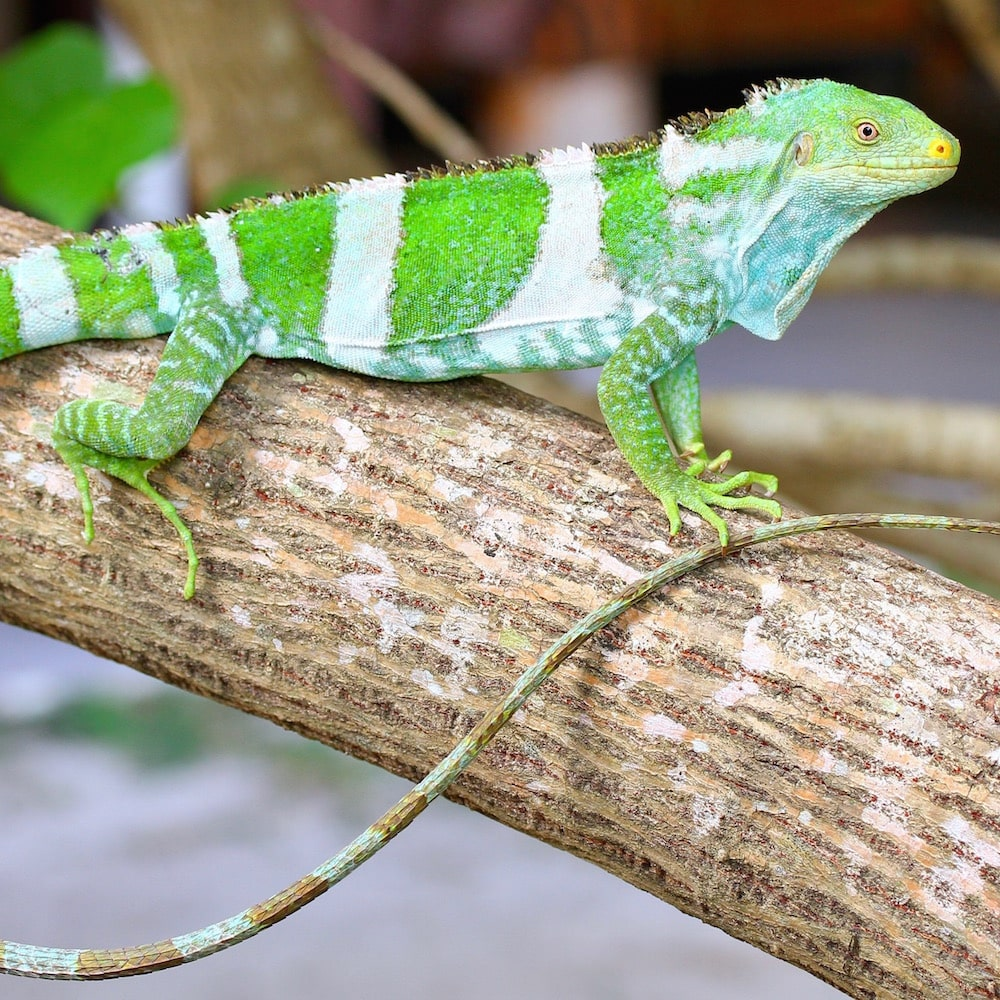 Fijian Crested Iguana Experience